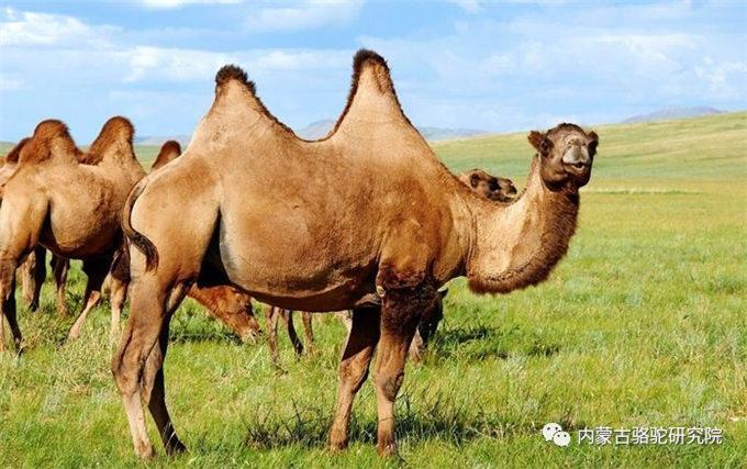 骆驼精神 --'无畏'、'坚韧'、'踏实'
