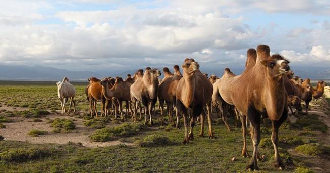 养生之道,一天一杯骆驼奶