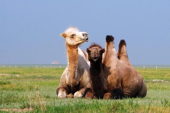 骆驼全身都是宝,骆驼尿也能治病!