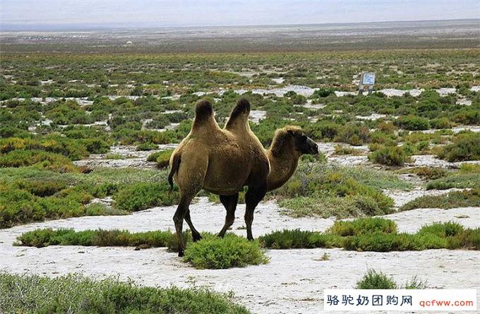 骆驼为什么在沙堆里打滚
