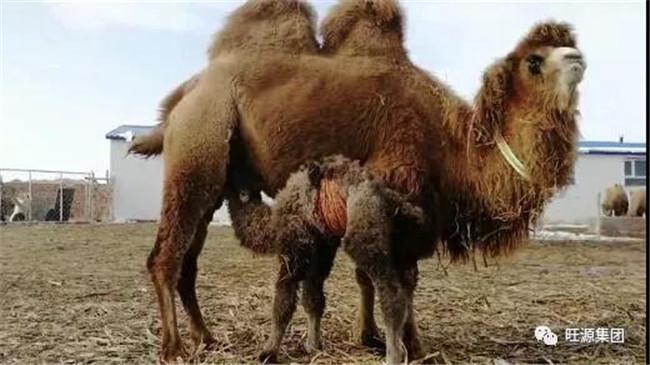 骆驼奶究竟因为什么这么珍贵?