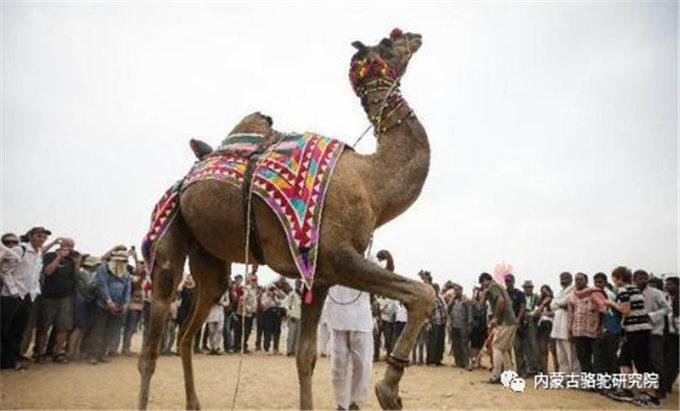印度拉贾斯坦邦的骆驼节