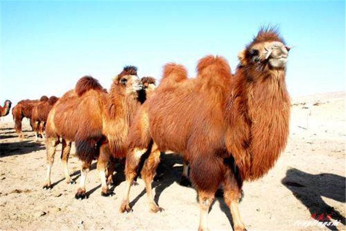 世界上唯一的野生骆驼,仅我国和蒙古有,现在比国宝大熊猫都濒
