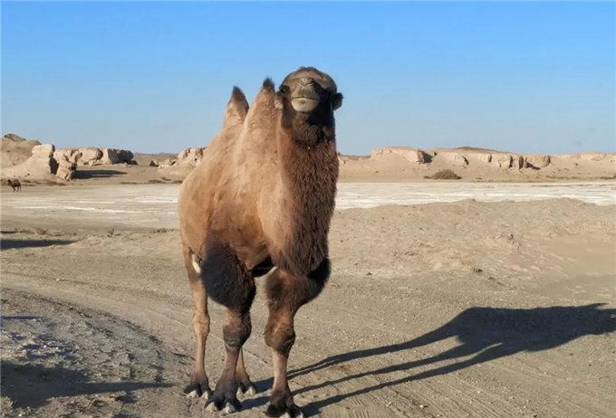 快乐的野骆驼