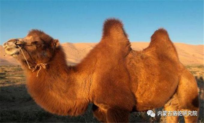蒙古国戈壁红双峰驼乳化学组成及其动态变化