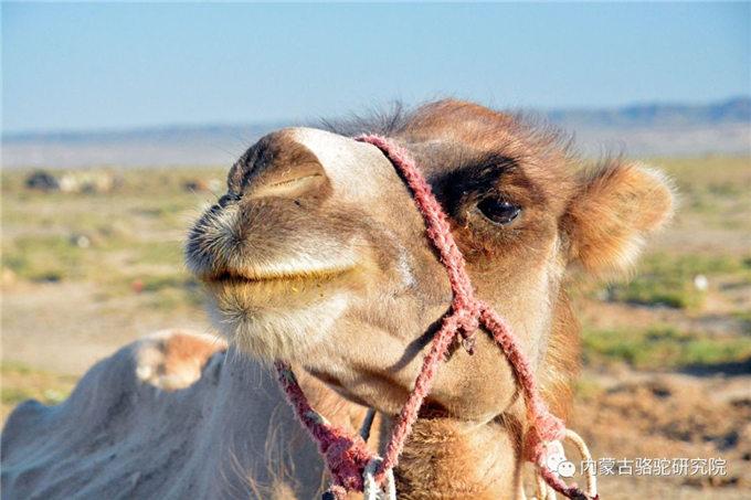 骆驼吃的不是草,骆驼吃的是刺!