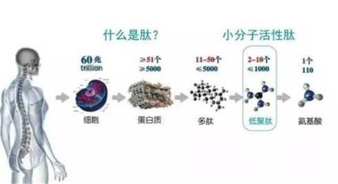 什么是c肽?