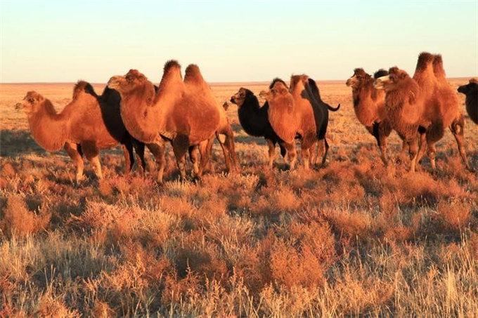 骆驼饲料对驼乳的影响
