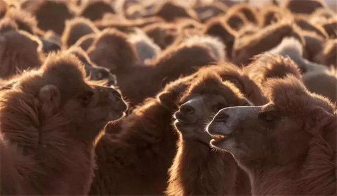 骆驼乳中含量丰富的维生素